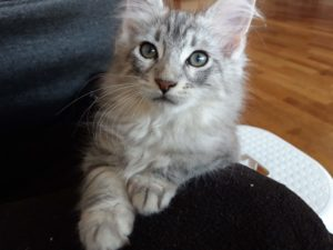 Maine Coon poezen katten, pets, huisdier, kater, vertelover.nl